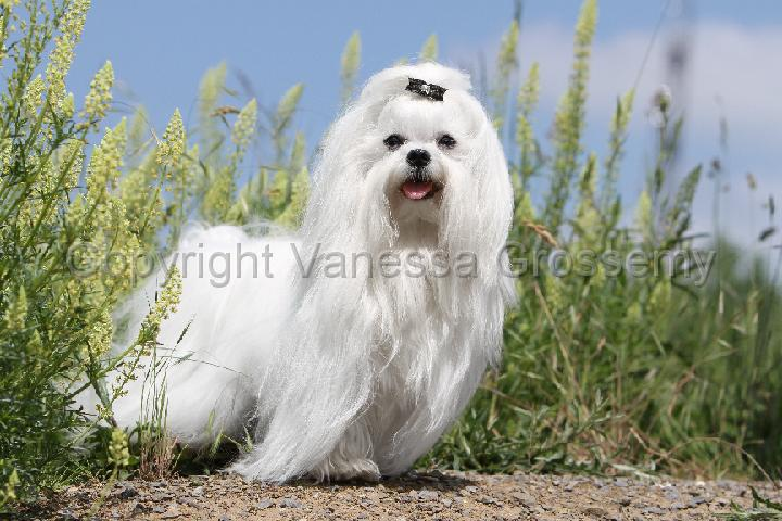 Bichon Frise Coton De Tulear Hybrid Dogs Pictures to pin on Pinterest