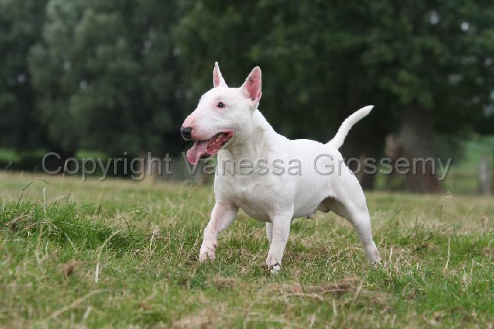 Miniature Bull Terrier Picture | Dog Breeds Picture