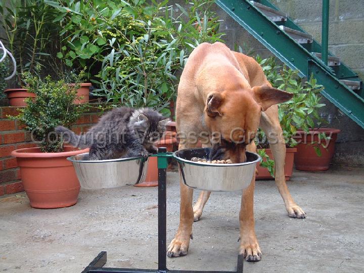chiens dogue allemand