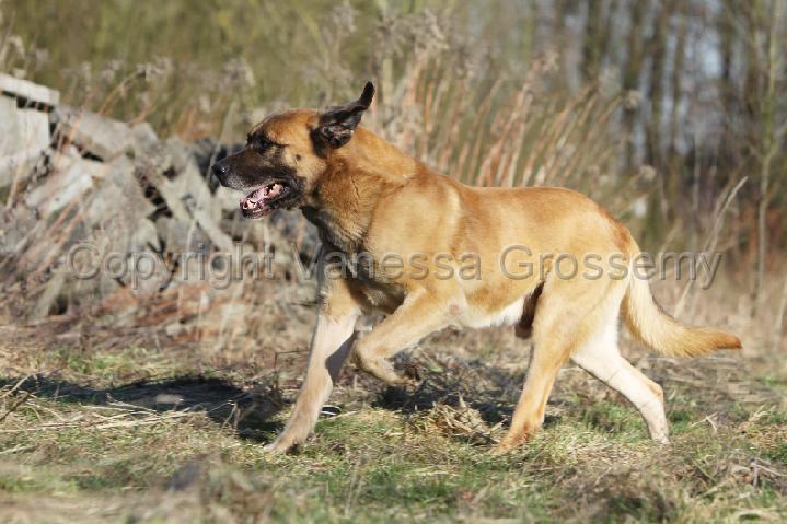 Phototheque vanessa grossemy » matin belge - belgian mastiff